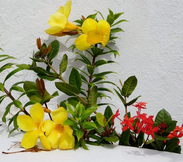 Tortola Flowers