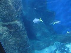 Coloured  fish near the rocks, Sea  Life Melbourne Aquarium,  Flinders  Street,  Melbourne
