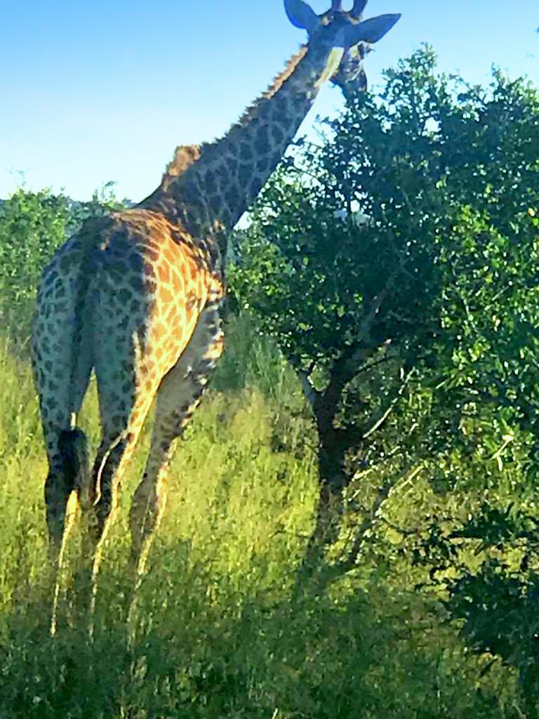 Dining Giraffe