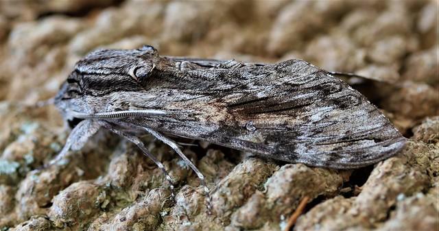 convolvulus hawk moth - a rare migrant to the uk