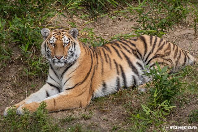 Siberian Tigress, Safaripark Beekse Bergen, The Netherlands