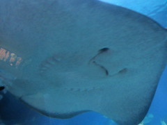 Underside of a huge Smooth Ray,  Sea  Life Melbourne Aquarium,  Flinders  Street,  Melbourne