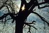 Markante Sophora Silhouette, 1982