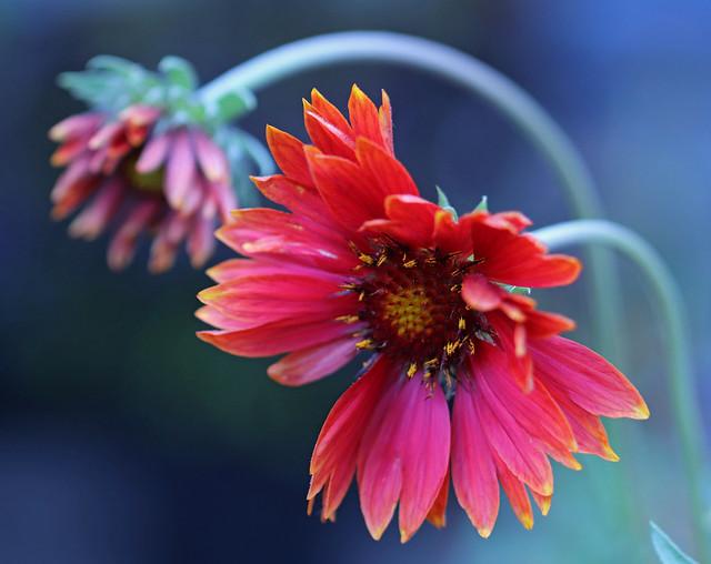 blanket flowers bend in the breeze