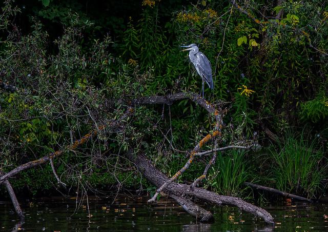 Серая цапля - Grey Heron