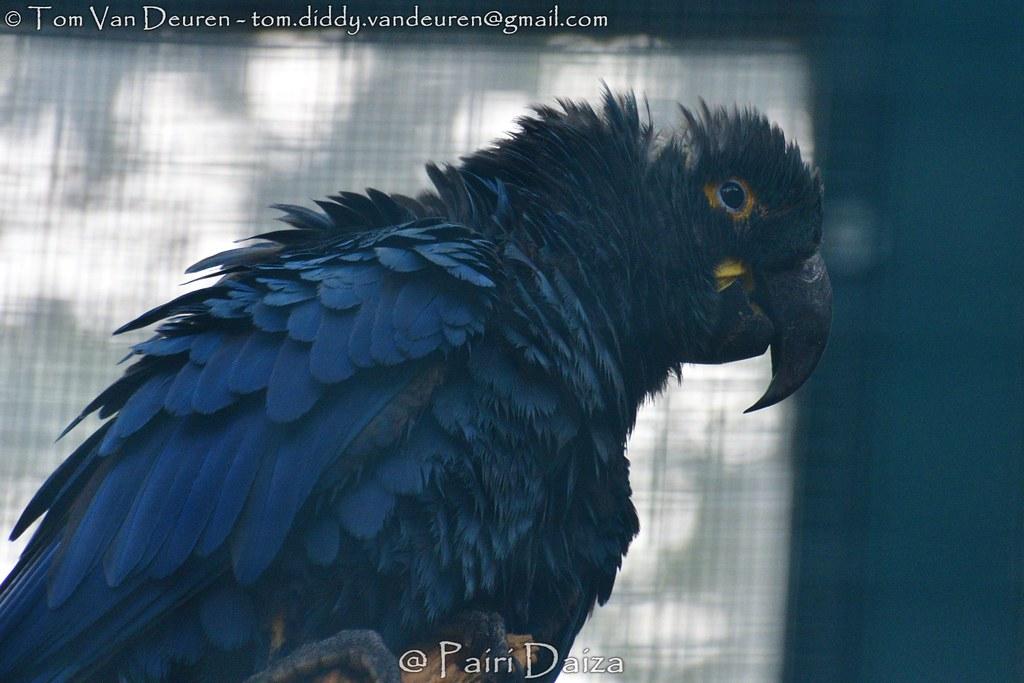 lears ara - Anodorhynchus leari - Lear's macaw