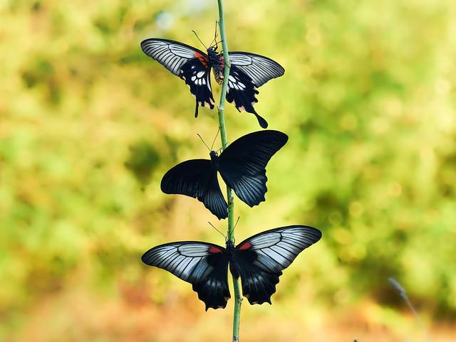 Papilio lowi (female+male+female)