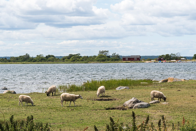 Betande får vid kusten i Halltorps Hage naturreservat på Öland