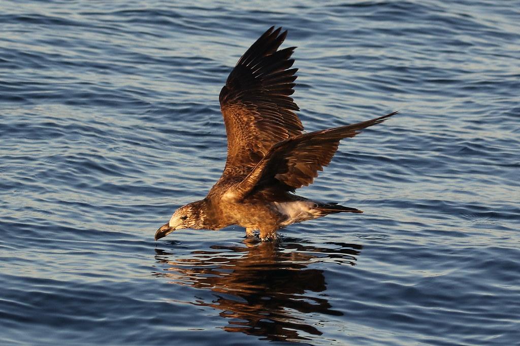 Pacific Gull (Larus pacificus) Juvenile