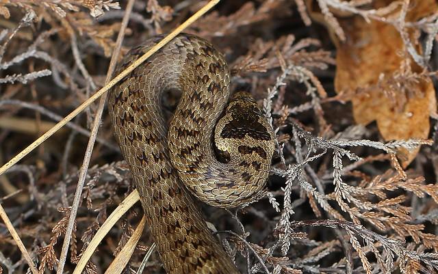 Smooth Snake - Coronella austriaca 220820 (2)