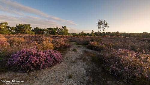 wimboon heather heide natuur nature nederland netherlands belgie canoneos5dmarkiii canonef1635mmf4lisusm leefilternd09softgrad panorama sunrise