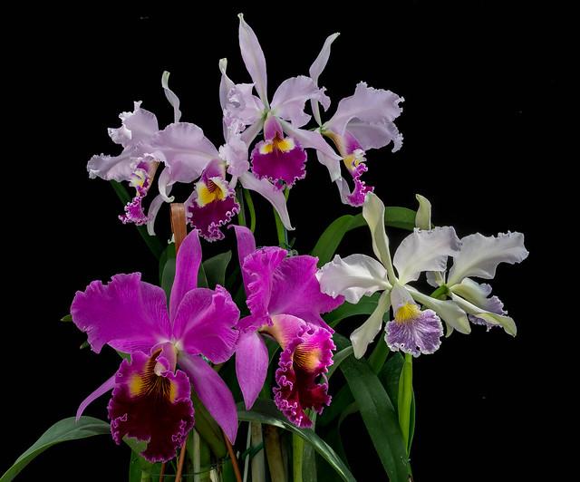 23082020 BLC Grispin Rosales und Cattleya Whitei x Valentine und Cattleya warszewiczii (3)