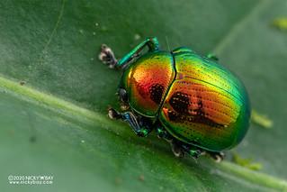 Leaf beetle (Eumolpinae) - DSC_3680
