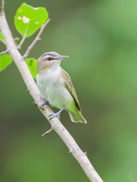 Viréo aux yeux rouges // Red-eyed Vireo