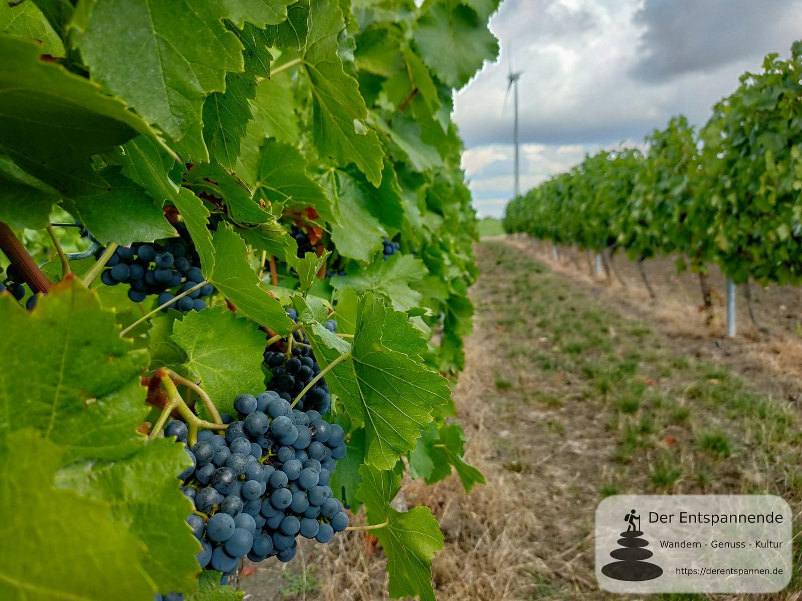 Weintrauben im Weinberg über Selzen