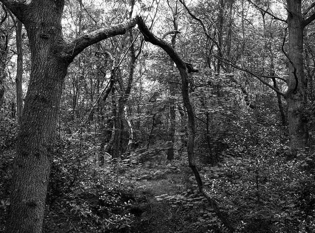 Hyons Wood, Mamiya 645E, Ilford Ortho+ in HC110