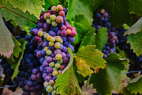 Sonoma County Grapes