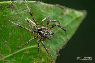 Jumping spider (Gelotia zhengi) - DSC_3644