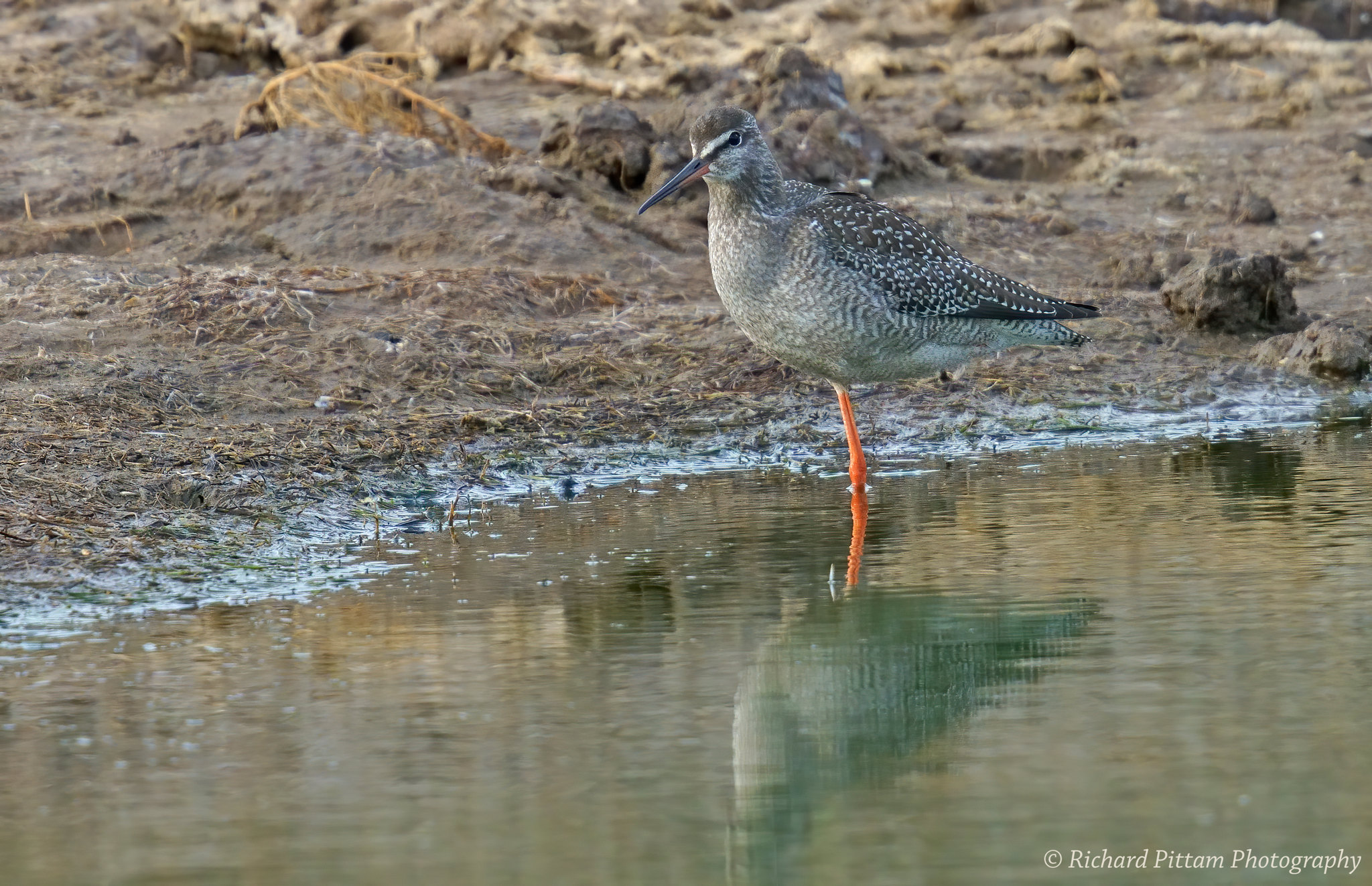 Juvenile Spotted Redshank - always too far away