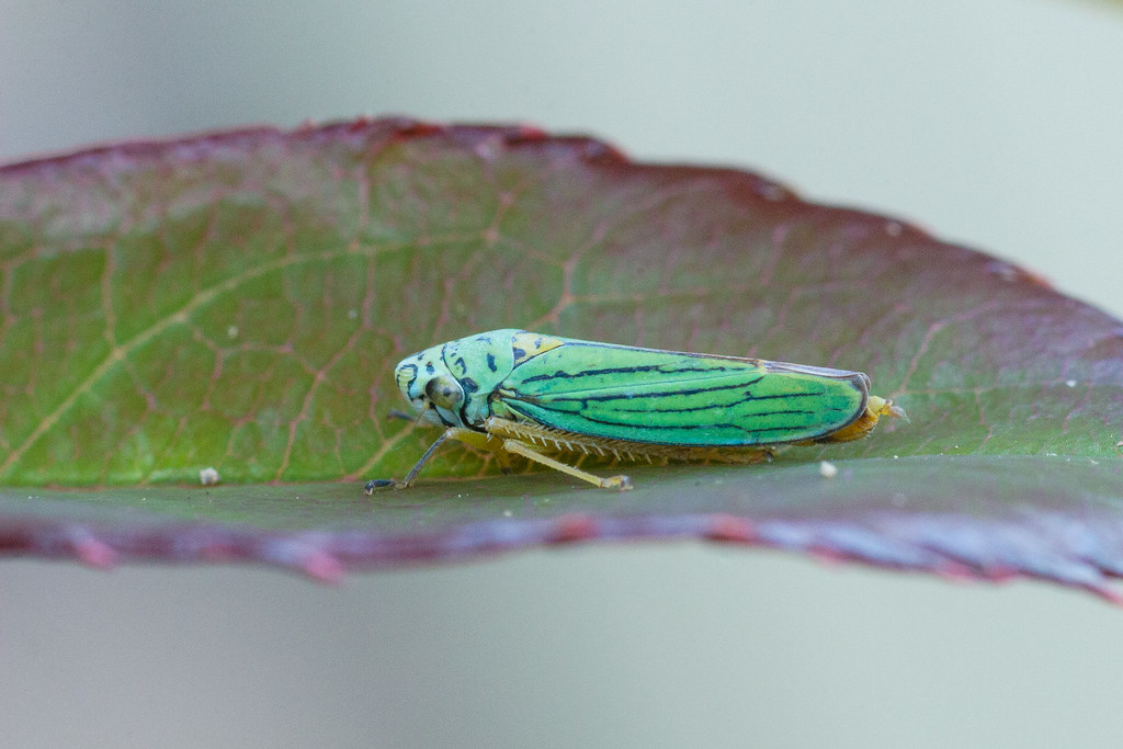 A blue-green sharpshooter, a species of leafhopper, sits on the leaf of a rose bush in our backyard in Portland, Oregon September 12, 2009. Original: _MG_6441.cr2