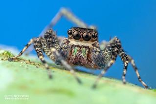 Jumping spider (Gelotia zhengi) - DSC_3618