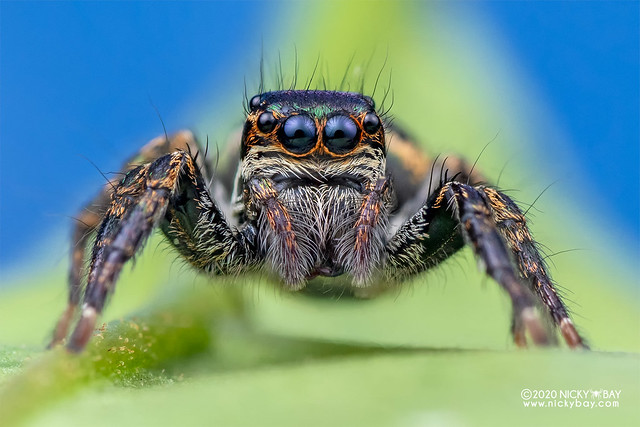 Jumping spider (Carrhotus sp.) - DSC_3385