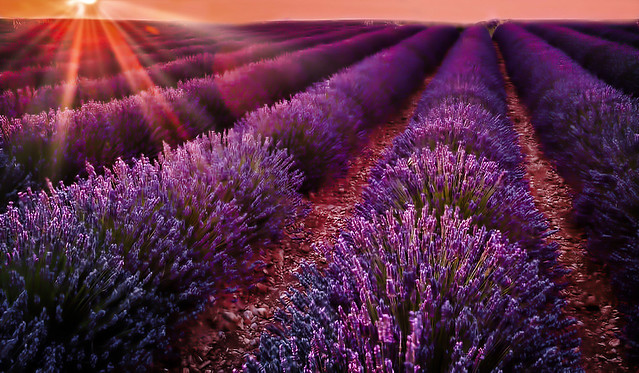 Lavender Field  at Sunset in Tihany, Hungary