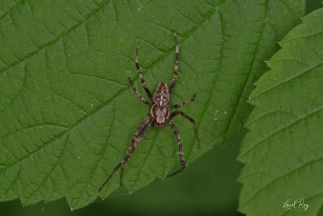Araneus diadematus / Épeire diadème (mâle) / European garden spider