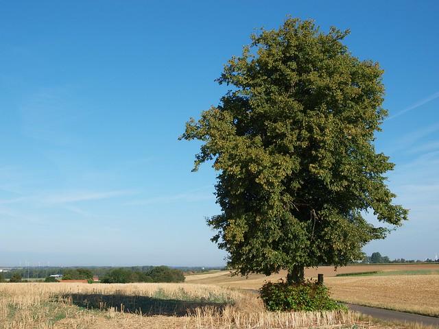 Einsamer Baum im Feld