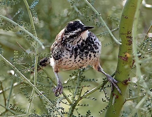bird birds nature cactuswren curvedbillthrasher gambelsquail gambelsquailchicks reptile lizard mountains landscapes scenicnature rabbit rabbits jackrabbit