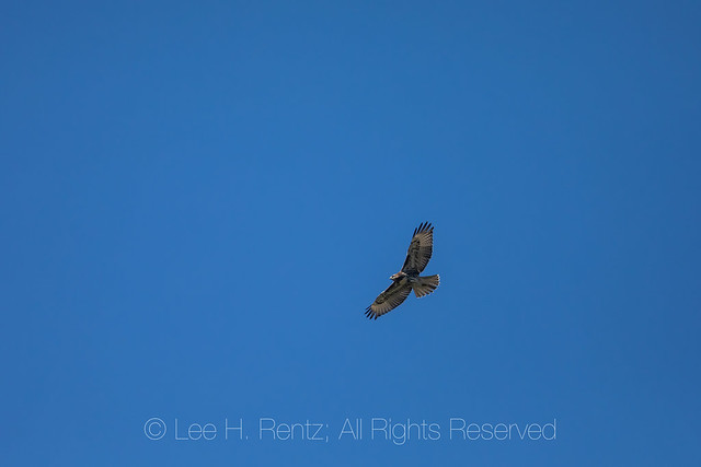 Juvenile Red-tailed Hawk over the Goat Rocks Wilderness