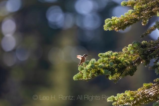 Rufous Hummingbird in the Goat Rocks Wilderness