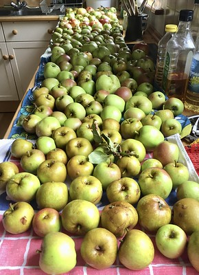 Photo of over 100 green apples stretching back along a kitchen counter