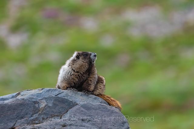 Hoary Marmot in the Goat Rocks Wilderness