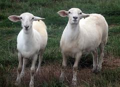 Drenching a sheep