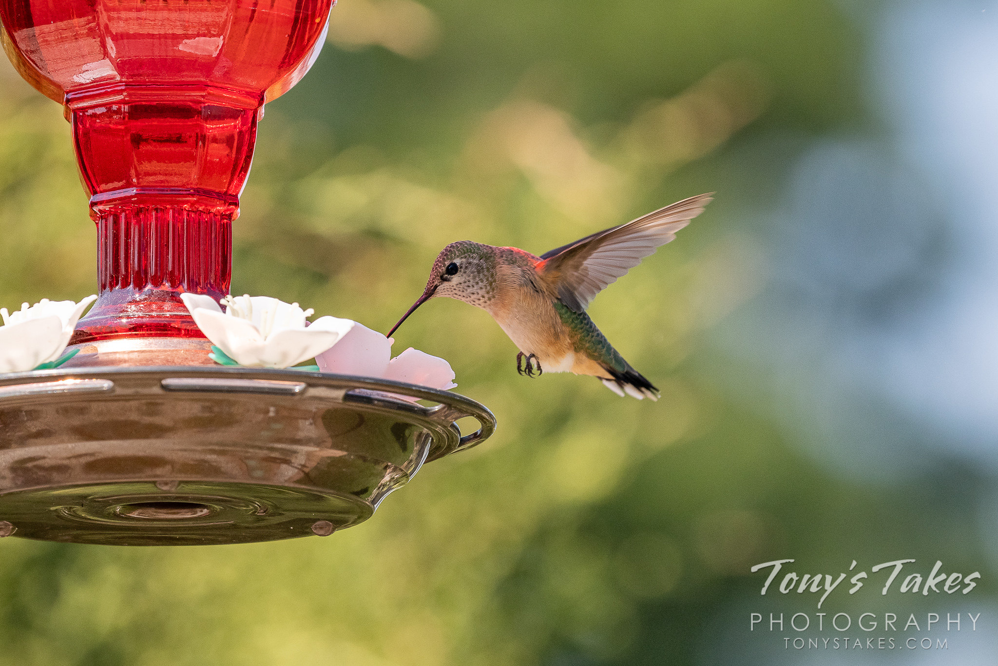 A broad-tailed hummingbird grabs a snack from a feeder. (© Tony's Takes)