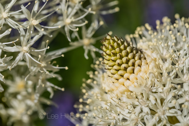 Beargrass Blooming in the Goat Rocks Wilderness
