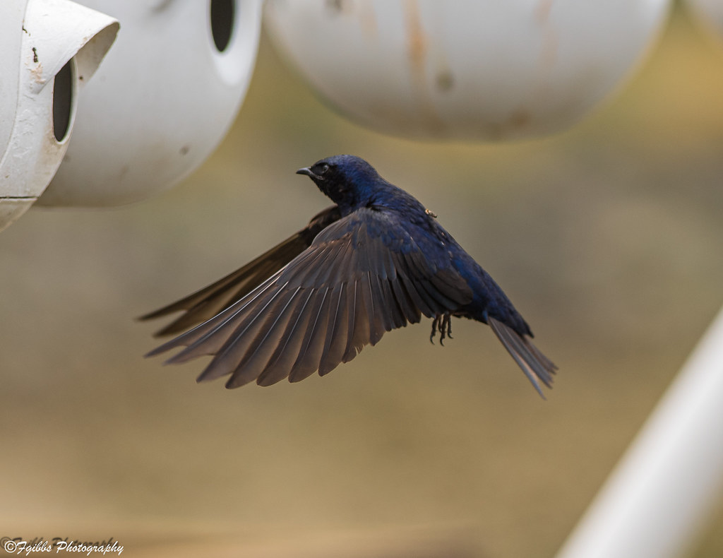 Purple Martins.