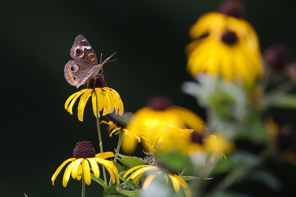 commonbuckeye1