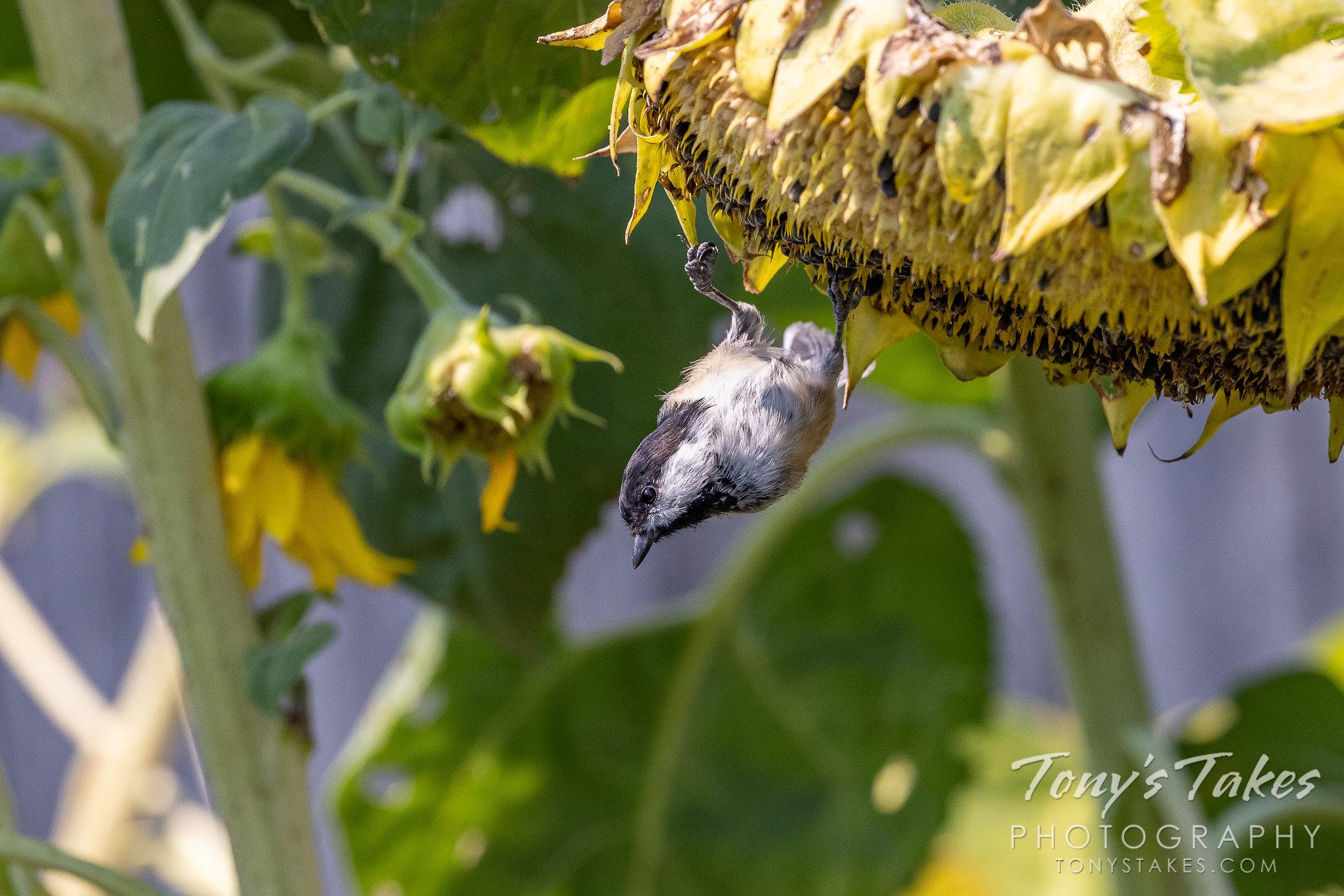 Backyard birds make for an easy photo excursion
