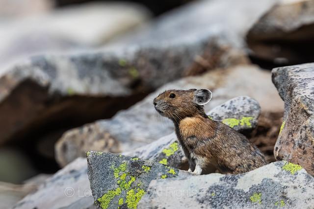 Pika in the Goat Rocks Wilderness