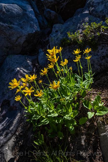 Broad-leaved Arnica in the Goat Rocks Wilderness