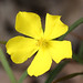 Hibbertia - Photo (c) Philip Bouchard, alguns direitos reservados (CC BY-NC-ND)