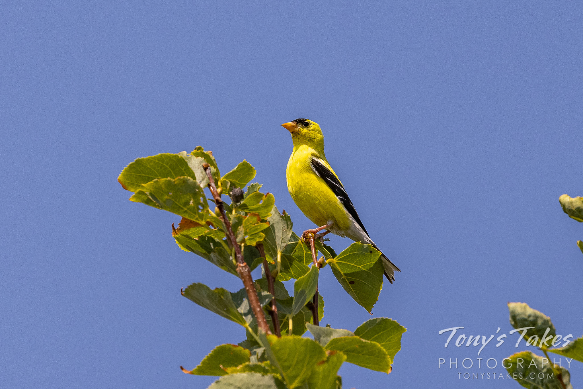 An American goldfinch hangs out on top of a tree. (© Tony's Takes)