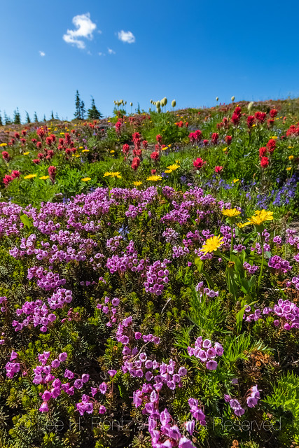 Pink Bell Heather in the Goat Rocks Wilderness