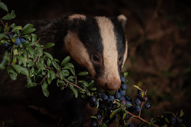Badger munching on some Sloes