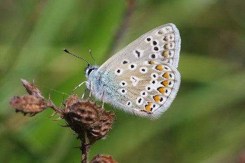 cambridgeshire devilsdyke polyommatusicarus butterfly commonblue insect nature wild wildlife