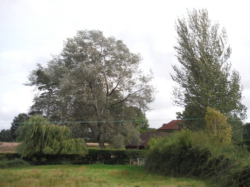Magnificent Trees, Sutton End SWC Walk 39 - Amberley to Pulborough
