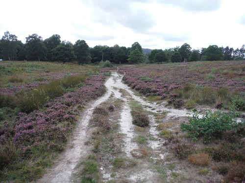 Heather in Bloom, Sutton Common SWC Walk 39 - Amberley to Pulborough