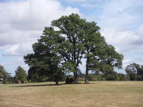 Tree in Burton Park SWC Walk 39 - Amberley to Pulborough